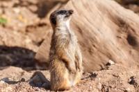 Meerkat standing up at paphos zoo