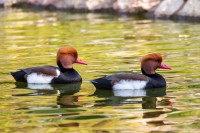 Ducks at paphos zoo