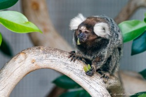 Marmoset eating fruit at paphos zoo