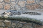 Nile Crocodiles in Outdoor Enclosure